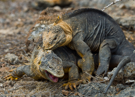 protection of land: Two land iguanas are fighting with each other. The Galapagos Islands. Pacific Ocean. Ecuador. An excellent illustration.
