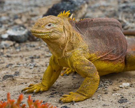 The land iguana sitting on the rocks. The Galapagos Islands. Pacific Ocean. Ecuador. An excellent illustration.