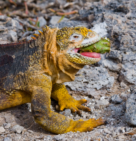 protection of land: The land iguana eats a cactus. The Galapagos Islands. Pacific Ocean. Ecuador. An excellent illustration.