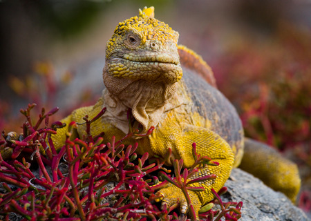 protection of land: The land iguana sitting on the rocks. The Galapagos Islands. Pacific Ocean. Ecuador.
