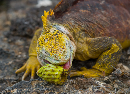 The land iguana eats a cactus. The Galapagos Islands. Pacific Ocean. Ecuador. An excellent illustration.
