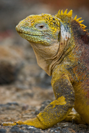 pacific ocean: The land iguana sitting on the rocks. The Galapagos Islands. Pacific Ocean. Ecuador. An excellent illustration.