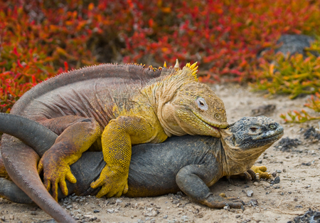 Two land iguanas are fighting with each other. The Galapagos Islands. Pacific Ocean. Ecuador.