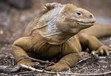 protection of land: The land iguana sitting on the rocks. The Galapagos Islands. Pacific Ocean. Ecuador. An excellent illustration.