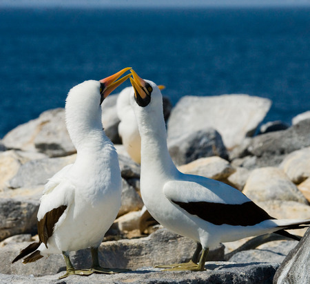 boobies: Pair of Masked (White) boobies sitting on the rocks. The Galapagos Islands. Birds. Ecuador. Stock Photo