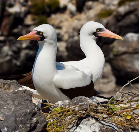 boobies: Pair of Masked (White) boobies sitting on the rocks. The Galapagos Islands. Birds. Ecuador. An excellent illustration.