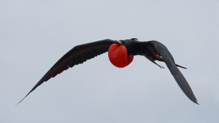 frigate: Red-bellied frigate in flight. The Galapagos Islands. Birds. Ecuador. An excellent illustration. Stock Photo
