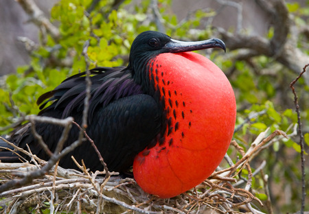 Red-bellied frigate is sitting on a nest. The Galapagos Islands. Birds. Ecuador. An excellent illustration.