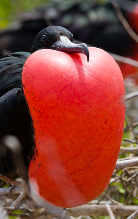 frigate: Portrait of Red-bellied frigate. The Galapagos Islands. Birds. Ecuador. An excellent illustration.