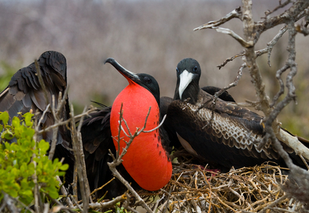 frigate: Red-bellied frigate is sitting on a nest. The Galapagos Islands. Birds. Ecuador. An excellent illustration.