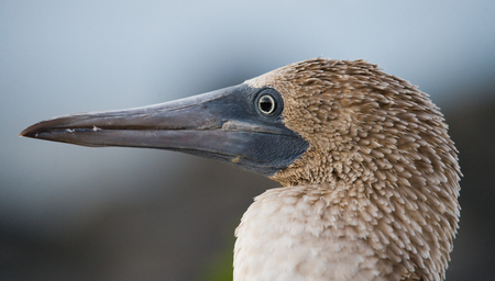 boobies: Portrait of blue-footed boobies. The Galapagos Islands. Birds. Ecuador. An excellent illustration.
