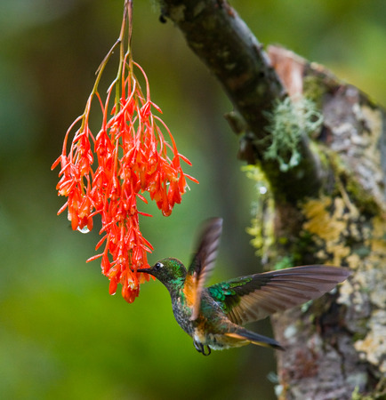 Hummingbird in flight at a flower. Ecuador. A tropical forest. An excellent illustration. Stock Photo