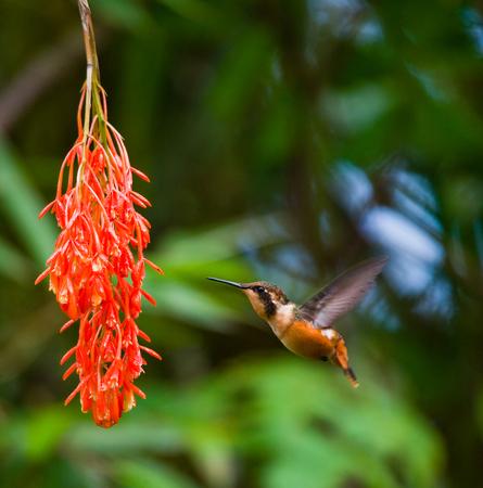 Colibrí en vuelo en una flor. Ecuador. Un bosque tropical. Una excelente ilustración. Foto de archivo