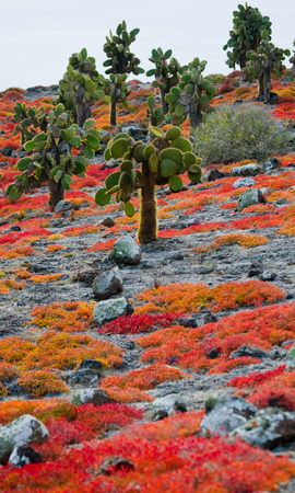 Prickly pear cactus on the island. The Galapagos Islands. Ecuador. An excellent illustration.