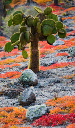 wildlife conservation: Prickly pear cactus on the island. The Galapagos Islands. Ecuador. An excellent illustration.