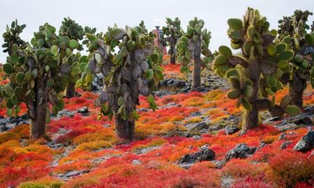 prickly pear: Prickly pear cactus on the island. The Galapagos Islands. Ecuador. An excellent illustration.
