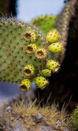 charles: The fruit of the prickly pear cactus up close. The Galapagos Islands. Ecuador. An excellent illustration. Stock Photo