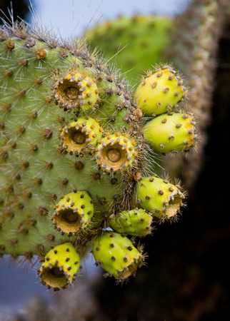 wildlife conservation: The fruit of the prickly pear cactus up close. The Galapagos Islands. Ecuador. An excellent illustration. Stock Photo