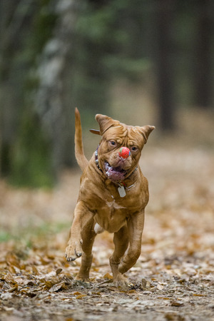 funny picture: Bordeaux Mastiff runs in the autumn park. Funny picture. An excellent illustration.