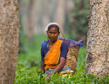 PROVINCE OF ASSAM. INDIA - APRIL 13, 2011: The woman and the nearby village collect tea on a tea plantation in the morning.