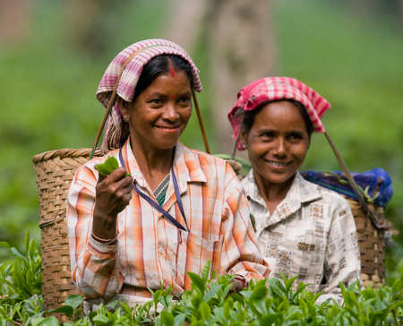 assam tea: PROVINCE OF ASSAM. INDIA - APRIL 13, 2011: The woman and the nearby village collect tea on a tea plantation in the morning.