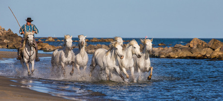 PROVENCE, FRANCE - 09 MAY, 2015: White Camargue Horses galloping along the sea beach in Parc Regional de Camargue - Provence, France Editorial