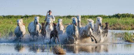 PROVENCE, FRANCE - 08 MAY, 2015: Rider on the horse graze Camargue horses in the swamp nature reserve in the Parc Regional de Camargue - Provence, France Editorial