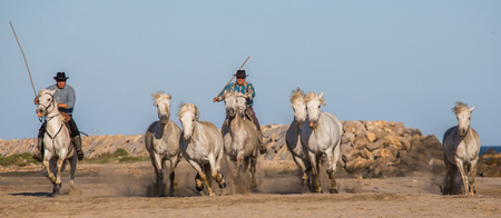 camargue: PROVENCE, FRANCE - 09 MAY, 2015: White Camargue Horses galloping on the sand in Parc Regional de Camargue - Provence, France