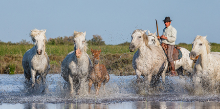 reserve: PROVENCE, FRANCE - 08 MAY, 2015: Rider on the horse graze Camargue horses in the swamp nature reserve in the Parc Regional de Camargue - Provence, France Editorial