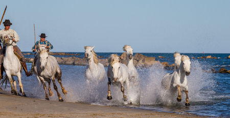 camargue: PROVENCE, FRANCE - 09 MAY, 2015: White Camargue Horses galloping along the sea beach in Parc Regional de Camargue - Provence, France Editorial