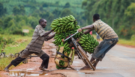 kisoro: KISORO, UGANDA, AFRICA - MAY 10, 2013: Kisoro. Uganda. Africa. The young man is lucky by bicycle on the road a big linking of bananas to sell on the market. Editorial