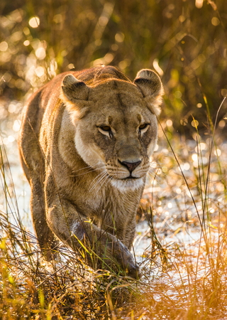 Portrait of a lioness. Botswana. Okavango Delta. An excellent illustration.