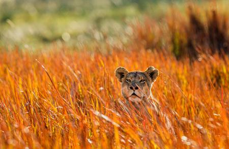草の中のライオン。オカバンゴ湿地帯。優秀なイラスト。