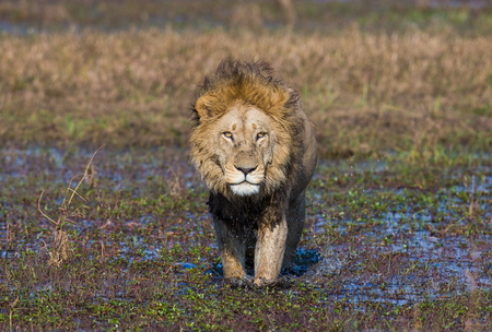 Lion is on the way. Okavango Delta. An excellent illustration.