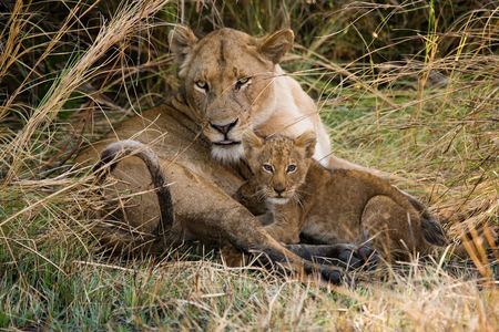 Lioness with cubs. Okavango Delta. An excellent illustration.
