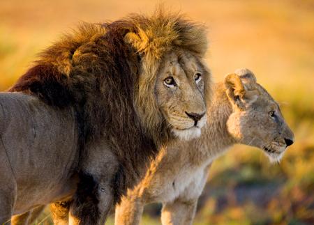 ライオンと雌ライオン立って一緒に。ボツワナ。オカバンゴ湿地帯。優秀なイラスト。