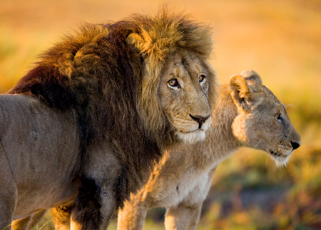 Lion and Lioness standing together. Botswana. Okavango Delta. An excellent illustration.