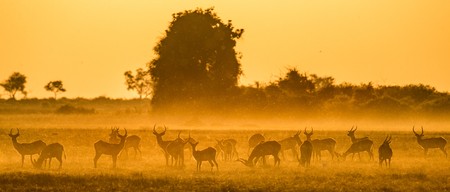 Group of antelope at sunset. Close-up. Botswana. Okavango Delta. An excellent illustration. Stock Illustration - 68215298