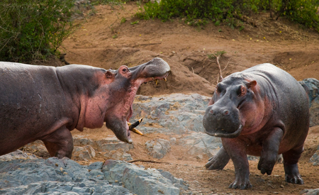 Two hippopotamus fighting with each other. Botswana. Okavango Delta. An excellent illustration.