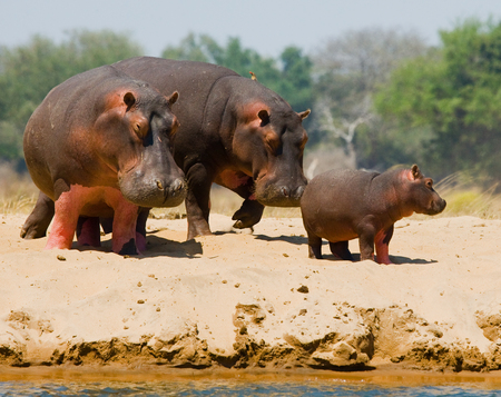 カバのグループ銀行の上に立ちます。ボツワナ。オカバンゴ湿地帯。優秀なイラスト。