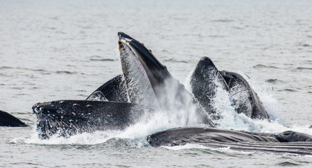 humpback whale: Jumping humpback whale. Chatham Strait area. Alaska. USA. An excellent illustration.