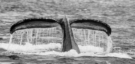 humpback whale: Tail humpback whale above the water surface closeup. Chatham Strait area. Alaska. USA. An excellent illustration.