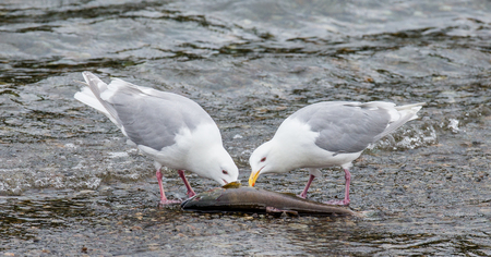 peck: Two Seagulls standing in the water and peck salmon. Alaska. Katmai National Park. USA. An excellent illustration.