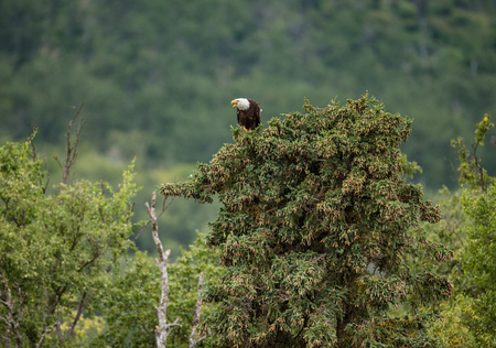 katmai: Eagle sitting on the top of a pine forest in the background. Alaska. Katmai National Park. USA. An excellent illustration. Stock Photo