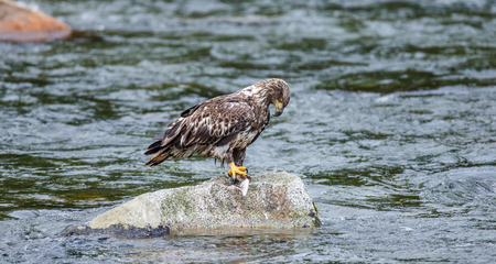 katmai: Eagle standing on a rock in the middle of the river and holding prey in its claws. Alaska. Katmai National Park. USA. An excellent illustration.