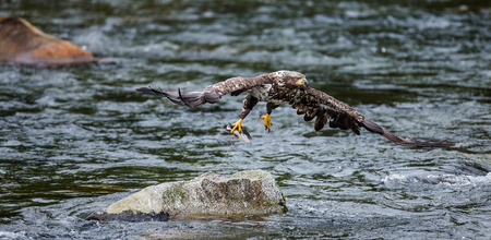 katmai: Eagle flies from stone with prey in its claws. Alaska. Katmai National Park. USA. An excellent illustration. Stock Photo