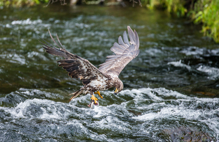 katmai: Eagle flying with prey in its claws. Alaska. Katmai National Park. USA. An excellent illustration.