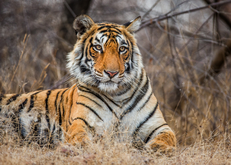 Bengal tiger lying on the road. Ranthambore National Park. India. An excellent illustration.