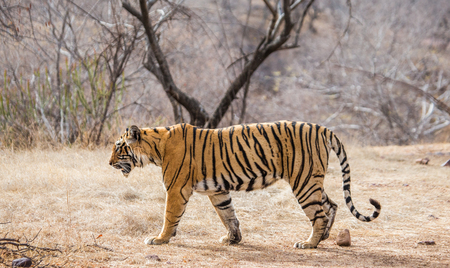 Bengal tiger goes among the trees in the Ranthambore National Park. India. An excellent illustration. Stock Photo