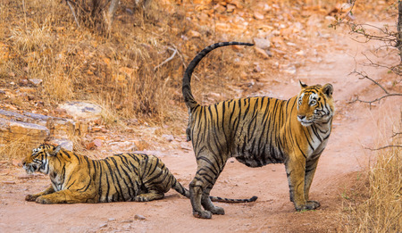 Male and female Bengal tiger playing with each other in the Ranthambore National Park. India. An excellent illustration.